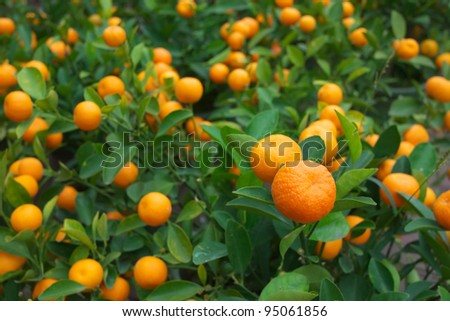 fresh orange on plant - stock photo