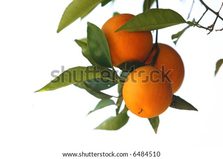 Fresh oranges on a tree branch isolated on white background. Shallow DOF. - stock photo
