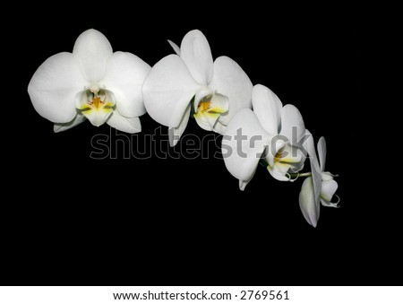 fresh orchid isolated on black background