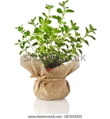 Fresh oregano herb seedling in terracotta flowerpot wrapping bag cloth isolated on white background - stock photo