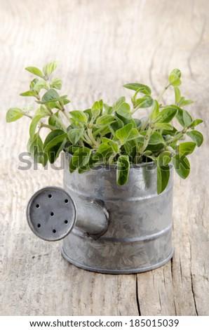 fresh oregano in a zinc watering can - stock photo