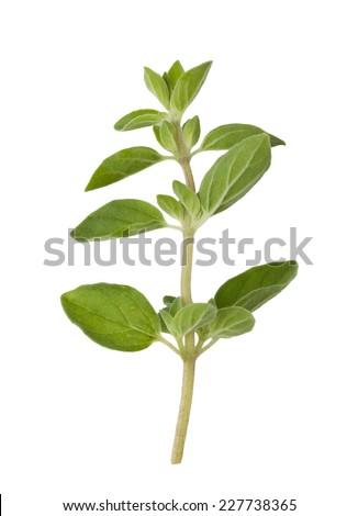 Fresh oregano isolated on white background - stock photo