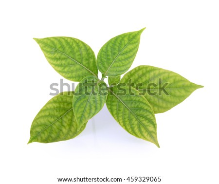 fresh oregano leaves isolate on white background