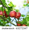 Fresh Organic Apples - stock photo