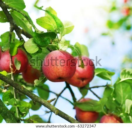 Fresh Organic Apples - stock photo