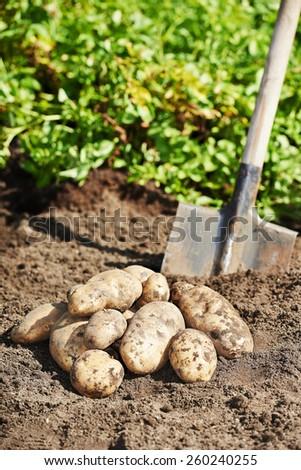 fresh organic bio potatoes vegetable in the field on soil - stock photo