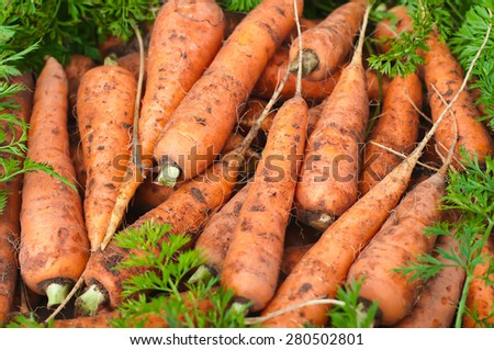 Fresh organic carrots with leaves. Harvesting. - stock photo