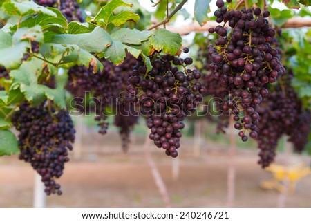 Fresh organic grape on vine branch - stock photo