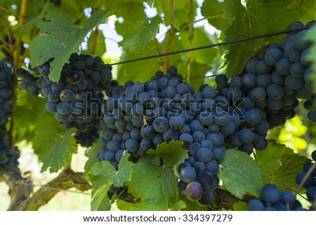 Fresh organic grapes on vine branch on a summer vineyard - stock photo