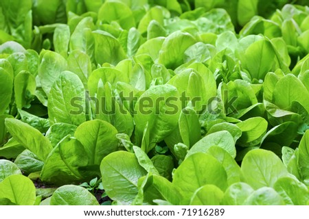 Fresh organic leaves of spinach in the garden - stock photo