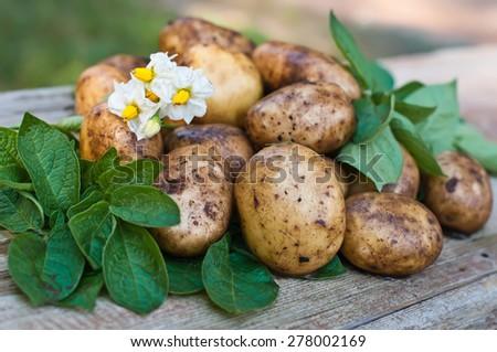Fresh organic potatoes closeup on wooden board. Harvesting. - stock photo