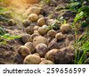fresh organic potatoes in the field - stock photo