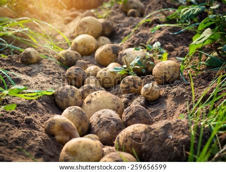 fresh organic potatoes in the field - stock photo