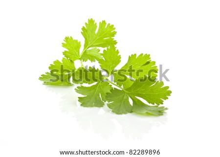 Fresh organic raw coriander leaf isolated on white background. Culinary aromatic herb. - stock photo