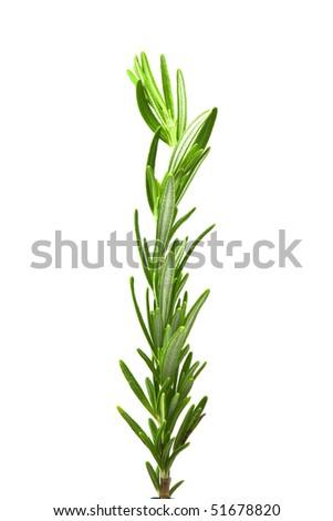 Fresh organic rosemary twig isolated white background - stock photo