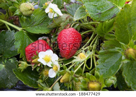 Fresh Organic Strawberries Growing in a Field