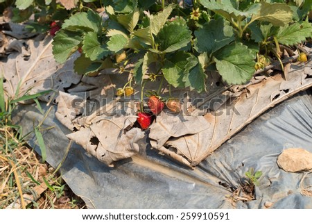 Fresh organic strawberries growing on the vine - stock photo
