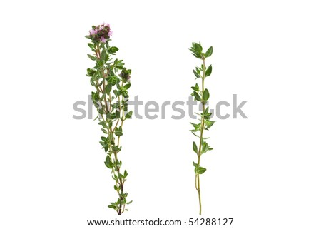 Fresh organic thyme twigs isolated on white background - stock photo