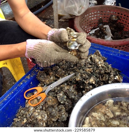 Fresh oyster held open with a oyster knife in a hand with an oyster glove  - stock photo