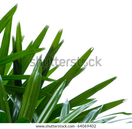 Fresh palm green leaf isolated on white