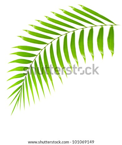 Fresh palm tree branch isolated over white background with text space, plant of tropical beach,  green leaves frond, floral decorative summer border - stock photo