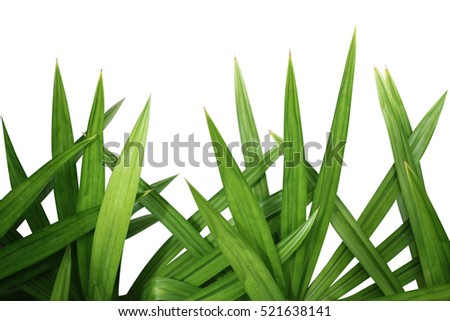 Fresh Pandan leaves isolated on white background.Green Leaves of Grass Blades - Horizontal Panorama - Blades Isolated on White Background - Graphic Illustration.