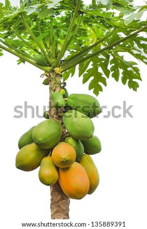 fresh papaya tree with bunch of fruits on white background - stock photo