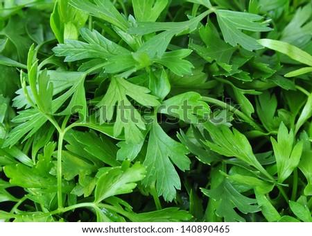 Fresh parsley ,background - stock photo