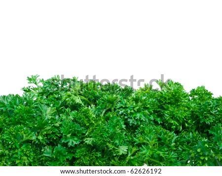 Fresh parsley bunch wallpaper on pure white background - stock photo