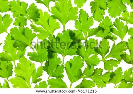 Fresh Parsley close-up background / back-lit - stock photo