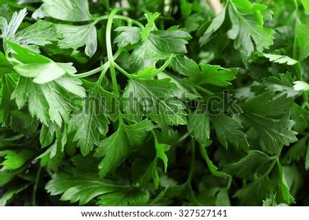 Fresh parsley closeup - stock photo
