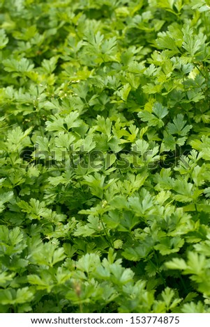 fresh parsley growing in a garden - stock photo