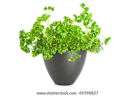 Fresh parsley growing in flower pot over white background - stock photo