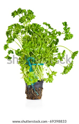 Fresh parsley growing in pot over white background - stock photo