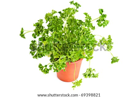 Fresh parsley growing in terracotta flower pot over white background - stock photo