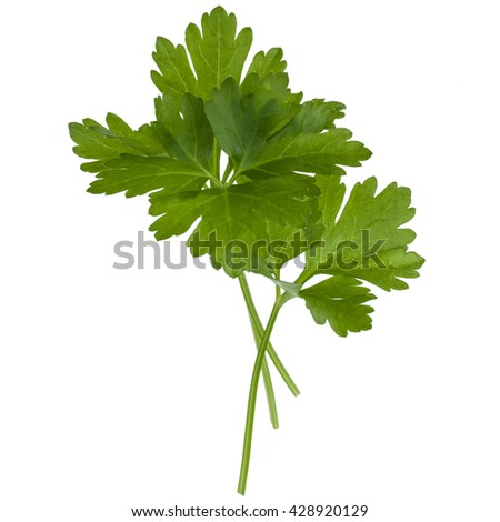 fresh parsley herb  leaves isolated on white background cutout - stock photo