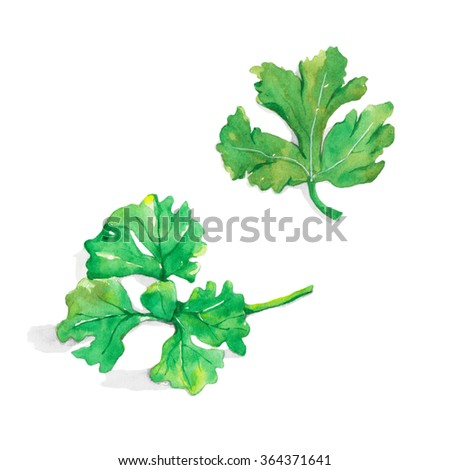 Fresh parsley isolated on white background. watercolor painting. - stock photo