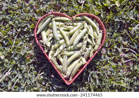 fresh pea pods in heart form wicker basket on garden grass - stock photo