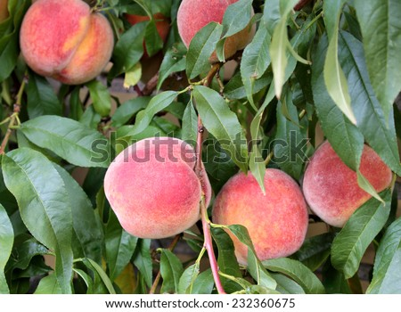 Fresh peaches on a branch with green leaves - stock photo