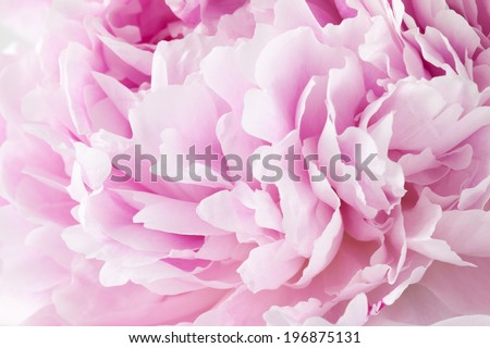 Fresh peony  - stock photo