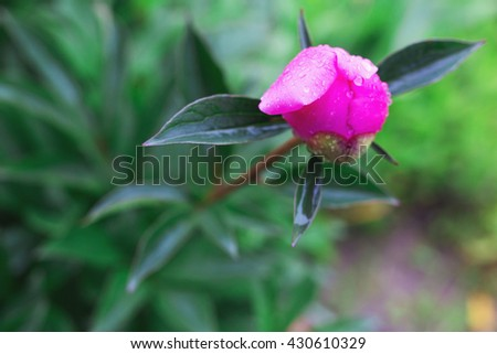 Fresh peony bud close up blooming in spring. High lushpeony flowers, summer meadow. - stock photo