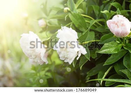 Fresh peony flowers in garden. Selective focus. - stock photo