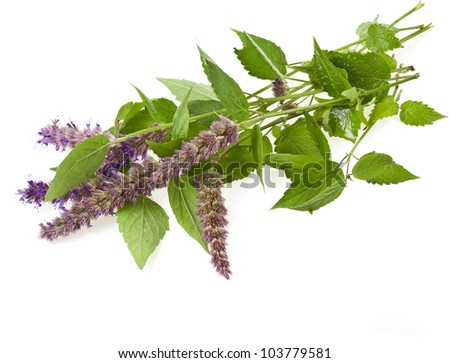 fresh peppermint herb with flowers  isolated on white background - stock photo