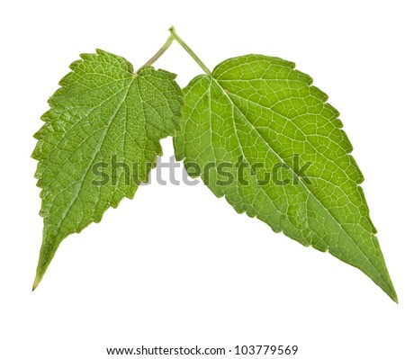 fresh peppermint leaves  Isolated - stock photo