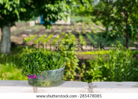 Fresh Picked Greens in Transparent Bucket on top of Brick Wall Bordering Vegetable Garden - stock photo