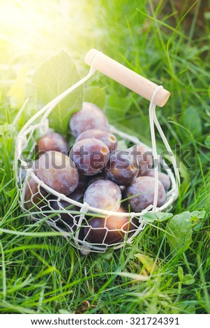 Fresh picked plums in basket