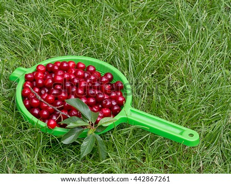 Fresh picked sour cherries. Highly nutritious fruit, often found wild. Prunus cerasus. - stock photo