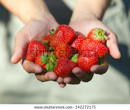 Fresh picked strawberries held in hand over strawberry plants