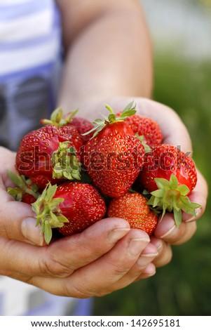Fresh picked strawberries held over strawberry plant - stock photo