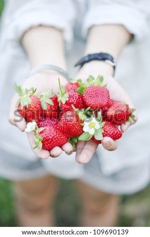 Fresh picked strawberries held over strawberry plants - stock photo